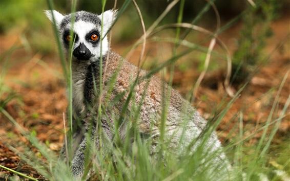 Wallpaper Lemur in grass, look at you