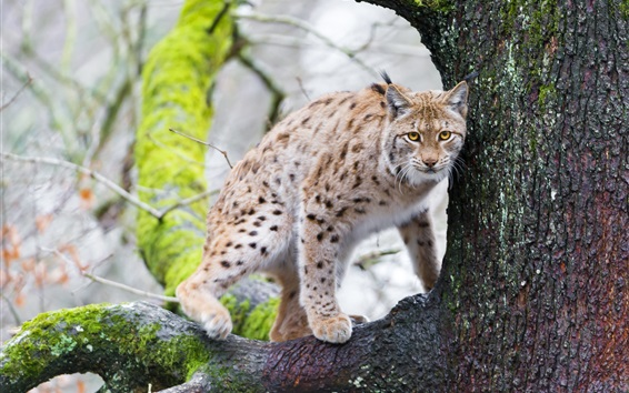 Wallpaper Lynx, tree, animals photography