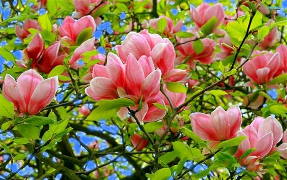 Papéis de Parede Magnólia, flores rosa, árvore, folhas