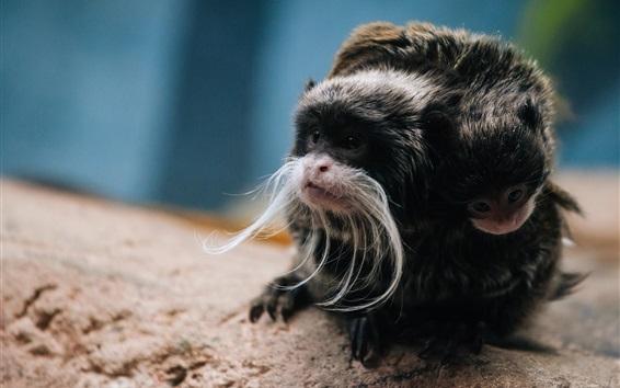 Wallpaper Monkey photography, Emperor Tamarin