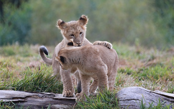 Wallpaper One pair lion cubs play games