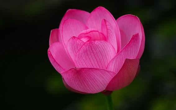 Wallpaper One pink lotus close-up