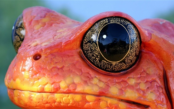 Wallpaper Orange color frog, face, eyes, reptile photography