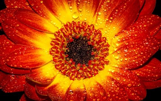 Wallpaper Orange red petals flower macro photography, dew