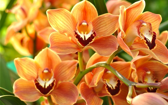 Wallpaper Orchid, orange phalaenopsis