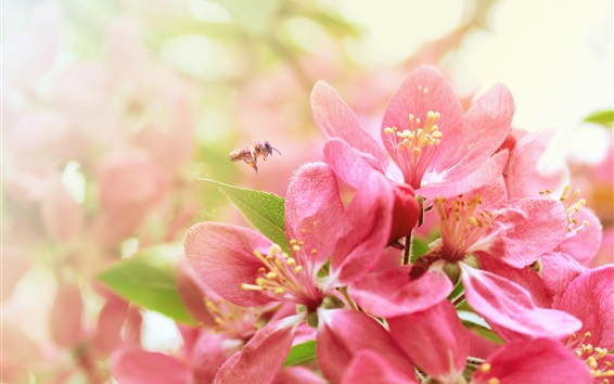 Wallpaper Pink flowers, flowering, spring, insect, bee