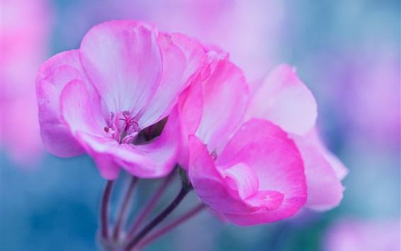 Fondos de pantalla Flores rosadas macro fotografía, pétalos, inflorescencia