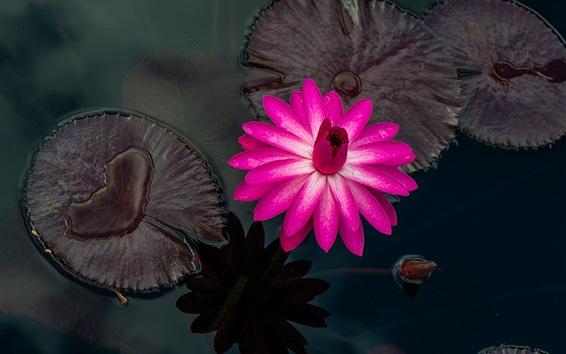 Обои Розовые лилии воды, красивый цветок, капли воды, пруд, листья