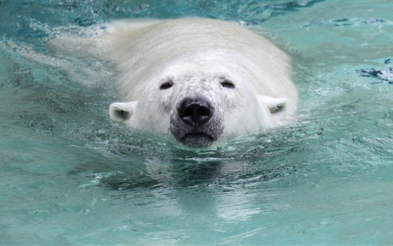 Wallpaper Polar bear swimming in the water, head, nose