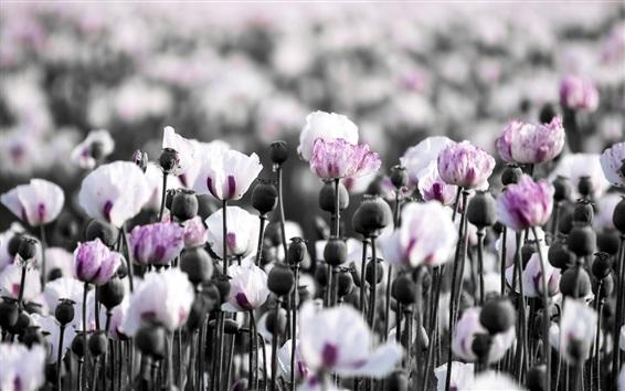 Wallpaper Poppies field, flowers, summer