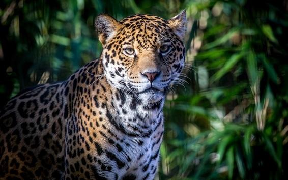 Fondos de pantalla Predador, cara, jaguar