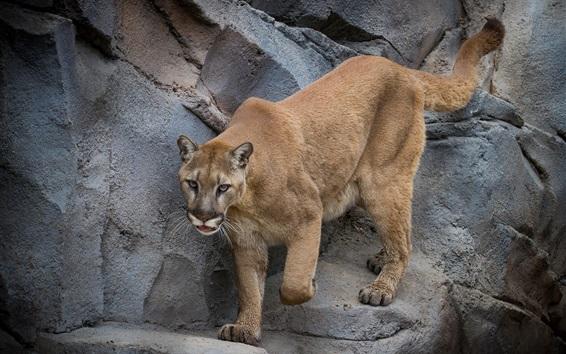 Wallpaper Puma, mountain lion, predator, rocks