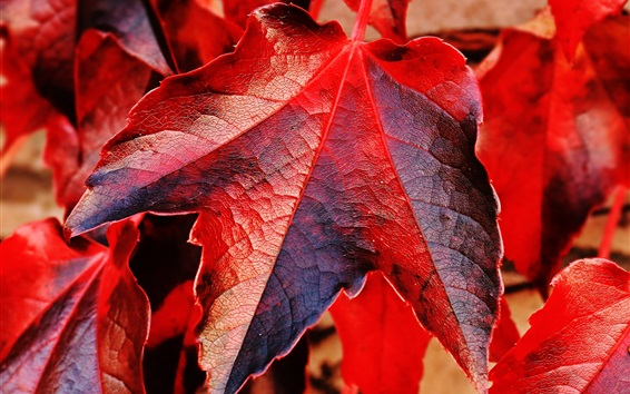 Wallpaper Red maple leaves macro photography, autumn theme