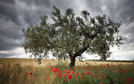 Red poppies flowers, single tree Wallpaper Preview
