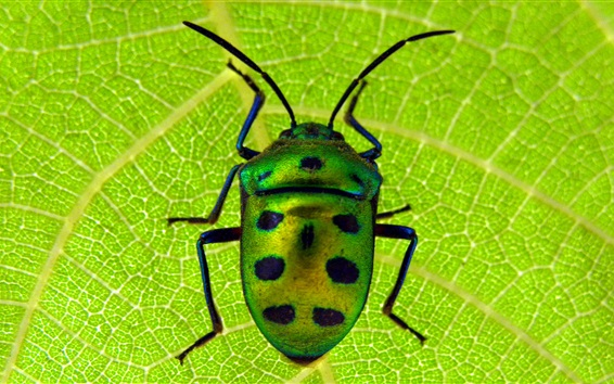 Wallpaper Scarab, beetle, insect close-up, green leaf
