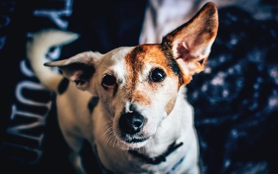 Wallpaper Spotted dog, face, eyes, bokeh