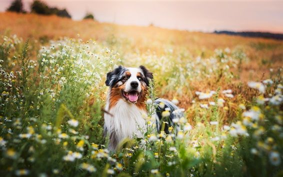 Wallpaper Summer, dog, wildflowers
