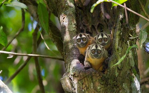 Wallpaper Three little monkeys, tree