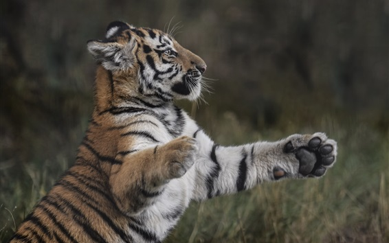 Papéis de Parede Filhote de tigre, predador, de pé, patas