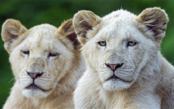 Wallpaper Two white lions front view