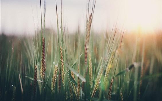 Обои Пшеничное поле, колоски, весна
