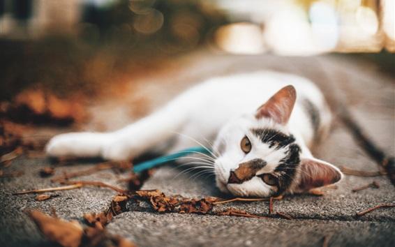 壁紙 地面に横たわっている白い猫、秋