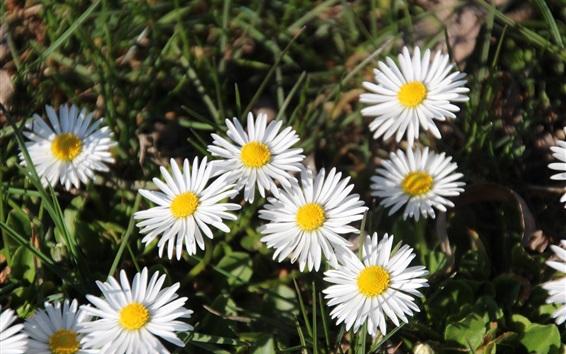 壁紙 白いデイジーの花、草、夏
