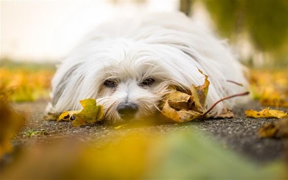 Papéis de Parede Cão branco, descanso, estrada, folhas amarelas
