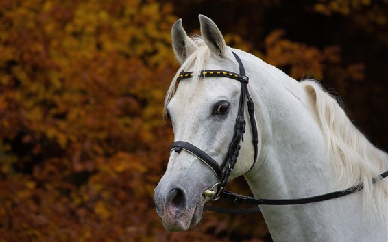 Wallpaper White horse, head, mane