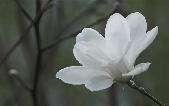 Papéis de Parede Branca, magnólia, flor, close-up