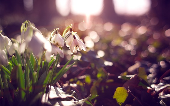 Wallpaper White snowdrops, flowers, glare