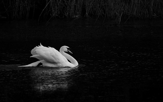Wallpaper White swan, pond, black background