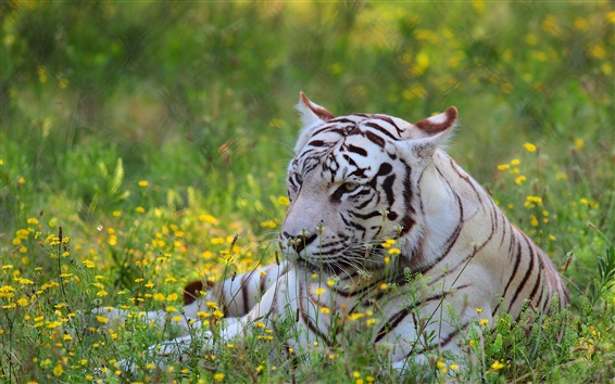 Wallpaper White tiger, predator, wildflowers