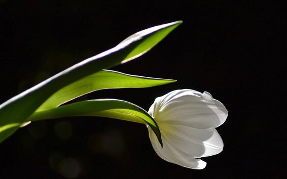 Wallpaper White tulip close-up, black background