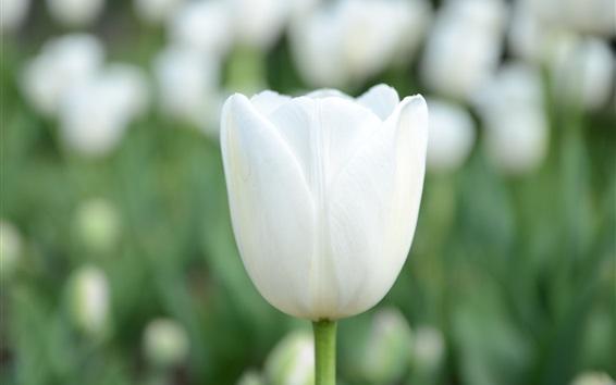 Обои Белый тюльпан крупным планом, зеленый фон