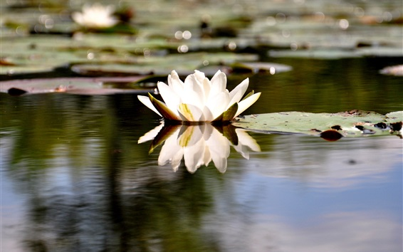 Wallpaper White water lily, pond