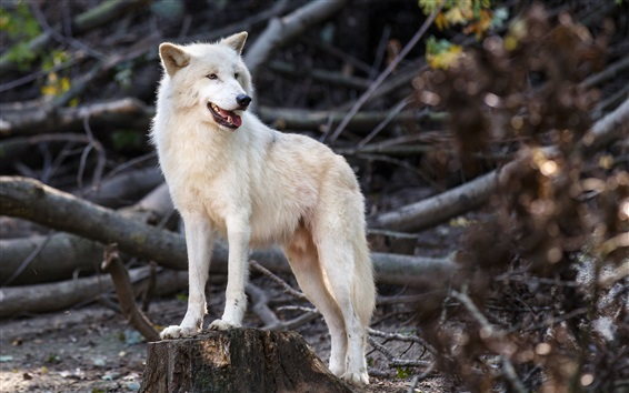 Wallpaper White wolf, predator, wildlife