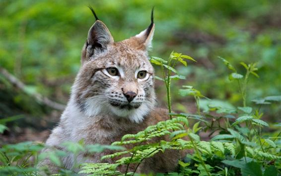 Wallpaper Wild cat, lynx, face, grass