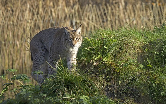 Wallpaper Wild cat, lynx, grass