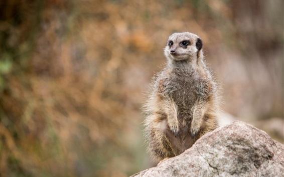 Wallpaper Wildlife, meerkat standing to look