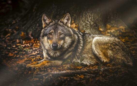 배경 화면 숲에서 늑대 휴식
