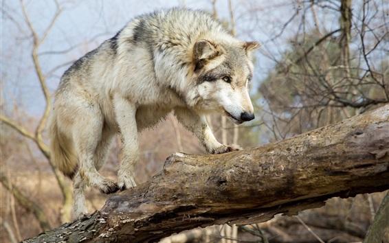 Wallpaper Wolf walk, tree, forest