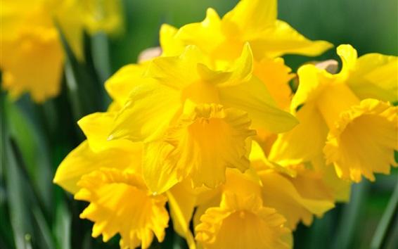 Wallpaper Yellow daffodils petals macro photography