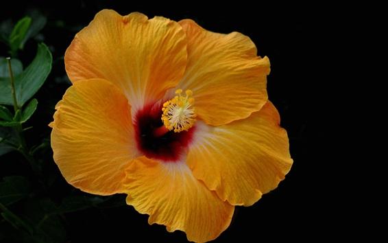 배경 화면 노란색 히비스커스 꽃, 꽃잎