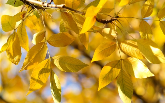 Wallpaper Yellow leaves, twigs, autumn, sunshine