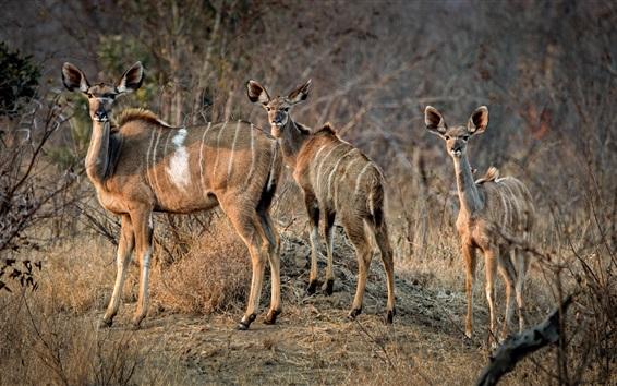 Wallpaper Antelope family, Africa