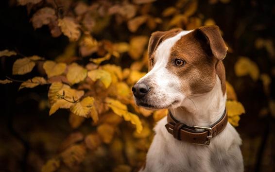 Wallpaper Autumn, dog, leaves, head