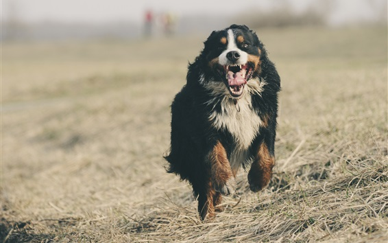 Wallpaper Bernese mountain dog runs