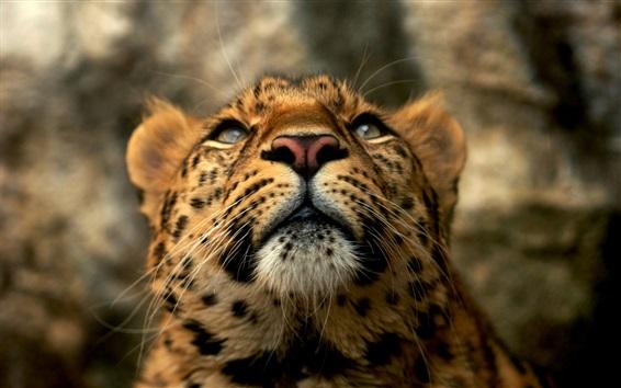 Papéis de Parede Grande, gato, leopardo, rosto, predador