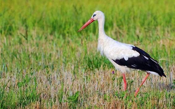 Wallpaper Birds photography, stork, grass